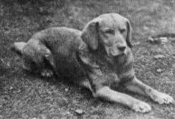 An old black and white photo of Ben of Hyde, the first ever registered Yellow Labrador.