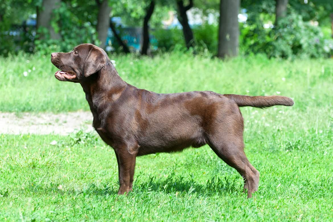 Perfect side view of a chocolate lab on grass
