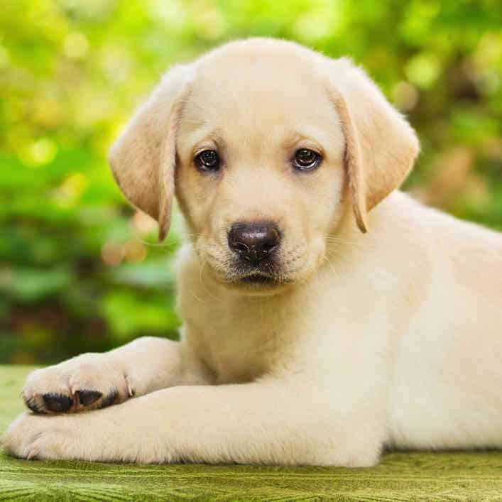Yellow Labrador Retriever Facts - Labrador Training HQ