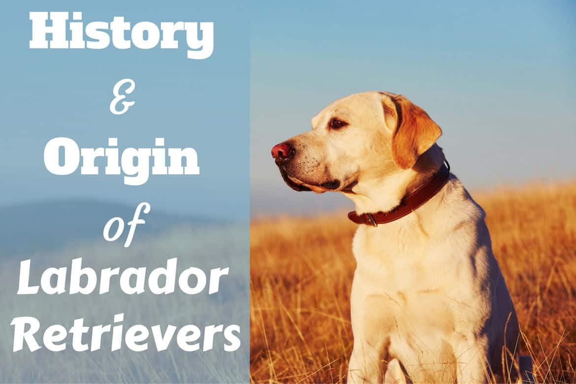 History and origin of labrador retrievers written beside a profile of a yellow lab