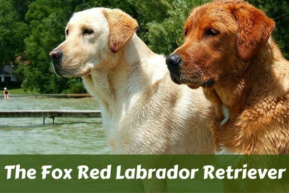 Fox Red Labrador Retriever Stood next to a more traditional Yellow, showing their difference in color
