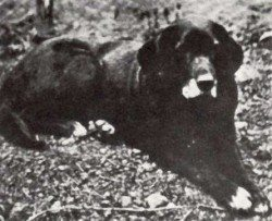 Labrador Retriever History: The St Johns Dog