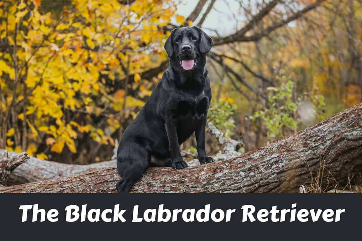 Labrador: breed description, character, photo 86