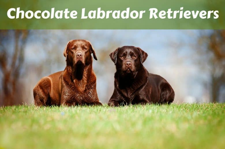 2 different shade chocolate labrador retrievers lying on grass