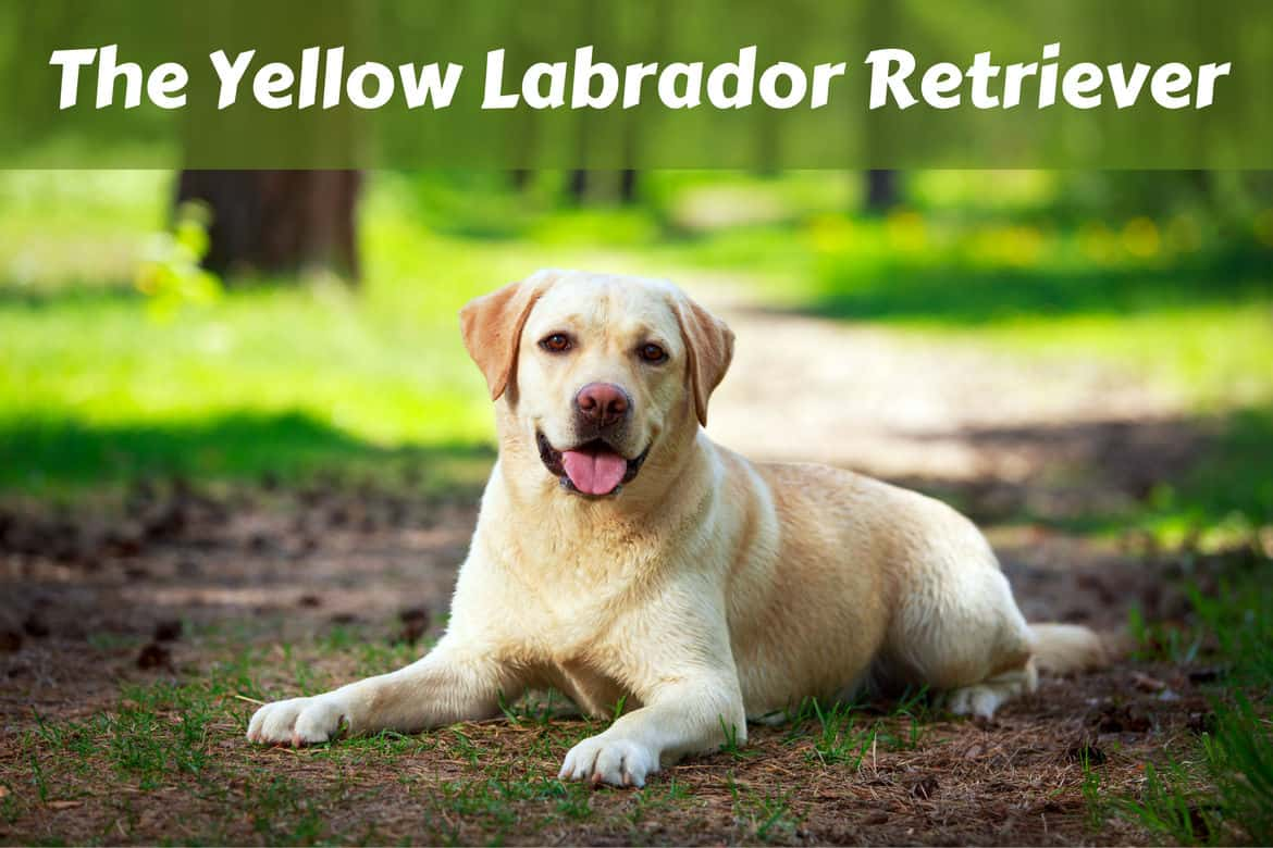 A yellow labrador retriever lying down in the woods
