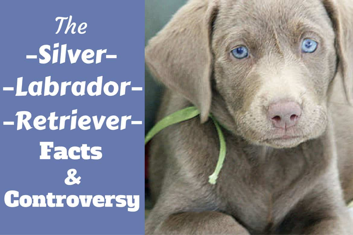 Silver Labrador Retriever Facts About