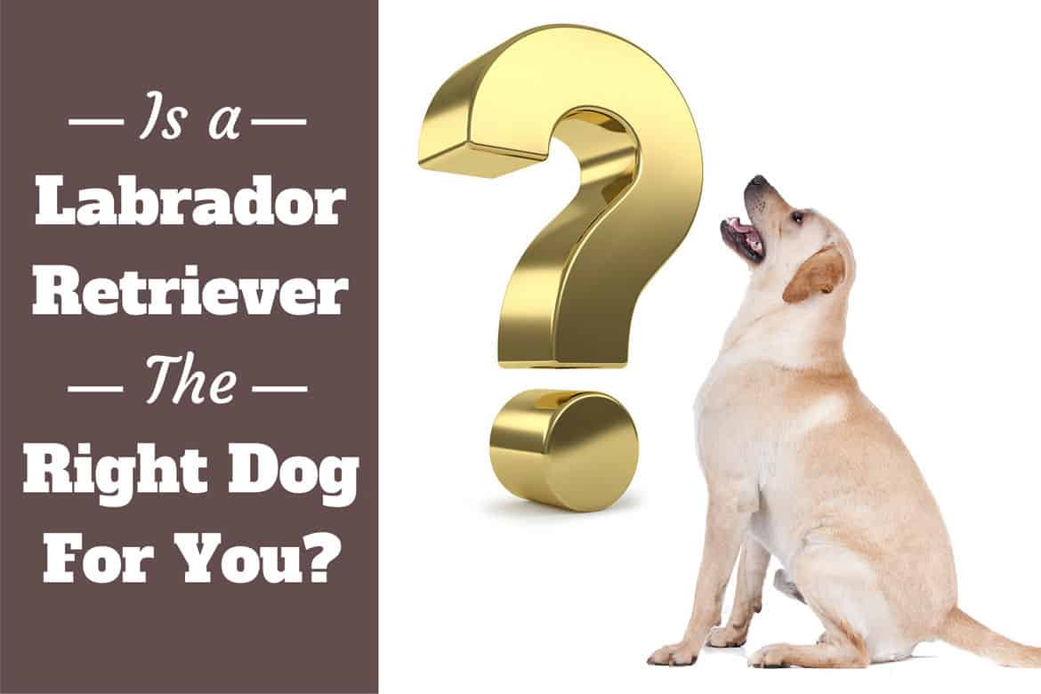 Is a Labrador Retriever the Right Dog For Me?