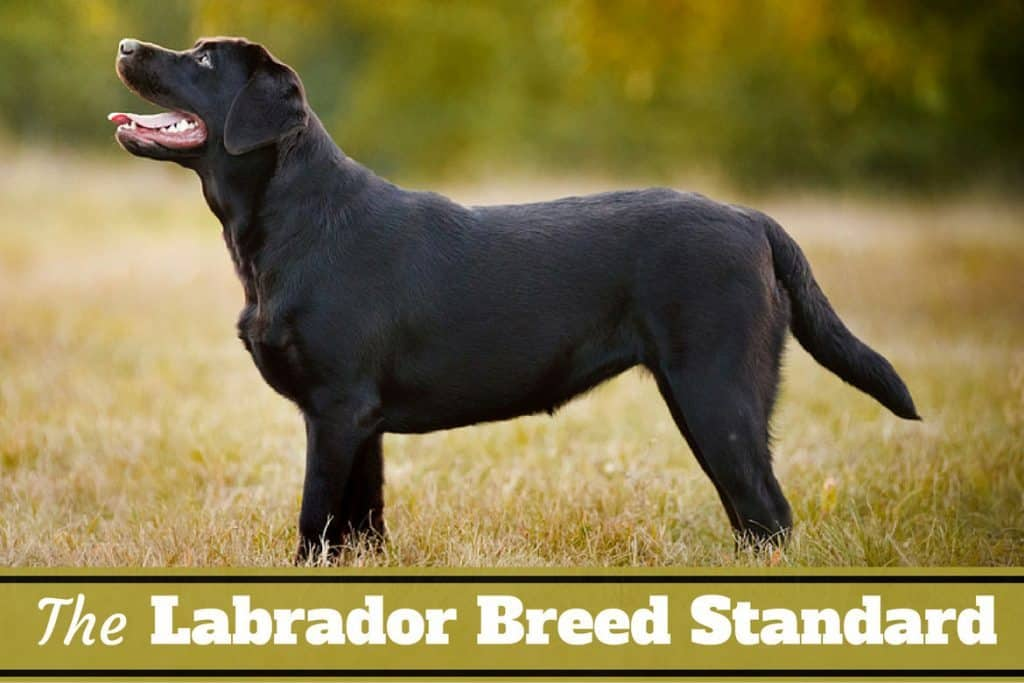 a look at the dog breed labradors