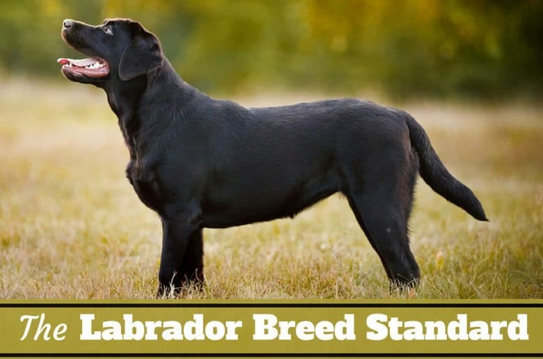Labrador breed standard written below side view of a perfect black lab