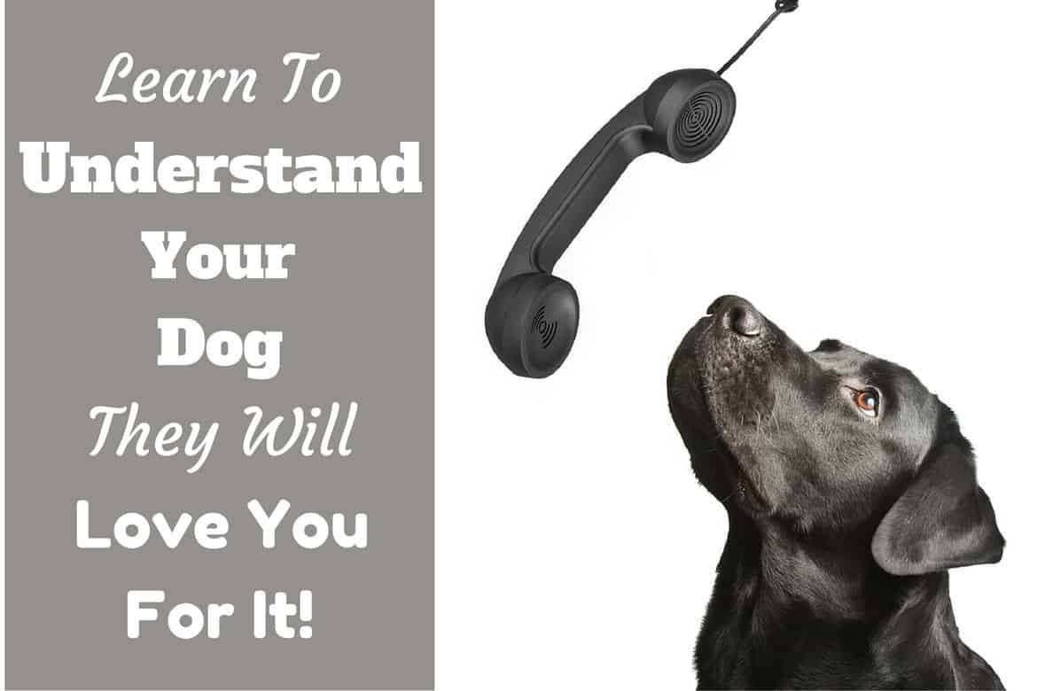 Understanding your dog: A black lab looking up to speak into a telephone