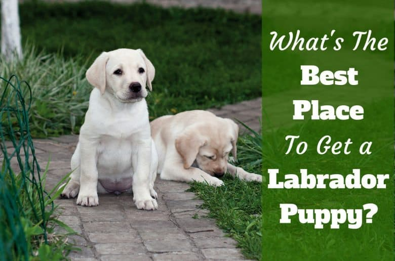 Where to get a labrador: Two puppies relaxing on a path