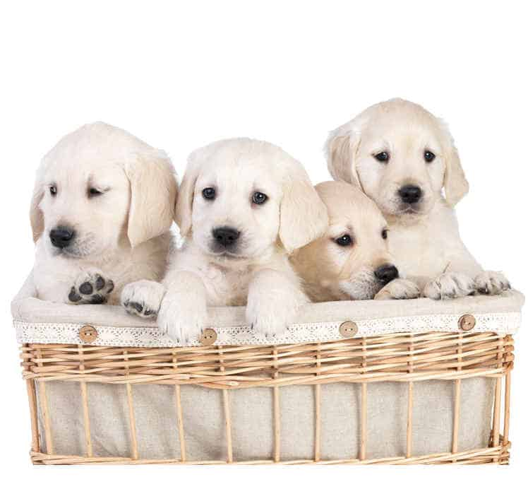 Labrador breeders - How to find the good ones! - Labrador Training HQ