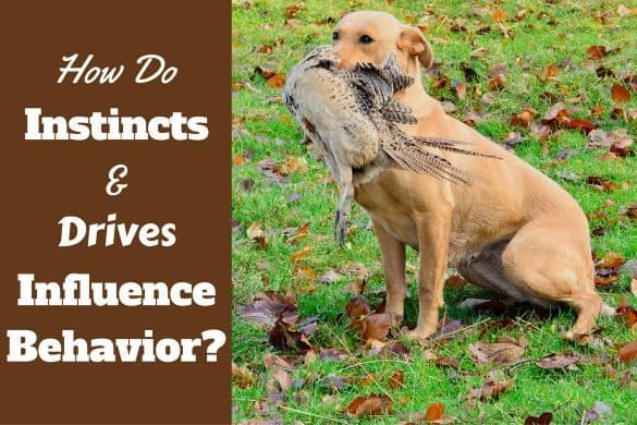 Dog instincts and drives: A Labrador hunting with pheasant in mouth