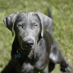Silver Labrador Retriever: A close up shot, looking into the camera.