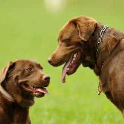 Body language: Two Chocolate Labradors facing one another