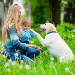 Importance of Labrador training: A well behaved with woman and young girl