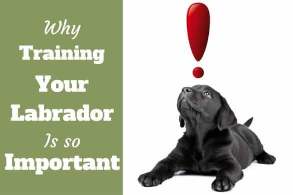 Importance of labrador training: Black lab puppy looks up at a red exclamation mark