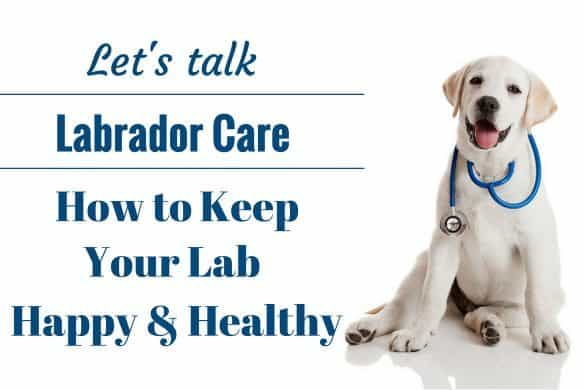 Caring for a Labrador Retriever: A Lab puppy as a vet