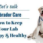 An Introduction to Caring for a Labrador Retriever
