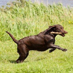 Exercise: Wet choc lab running with stick