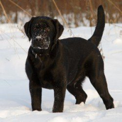 An alert black Labrador standing in the snow