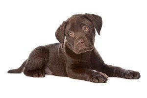 Side view of a choc lab puppy on white background