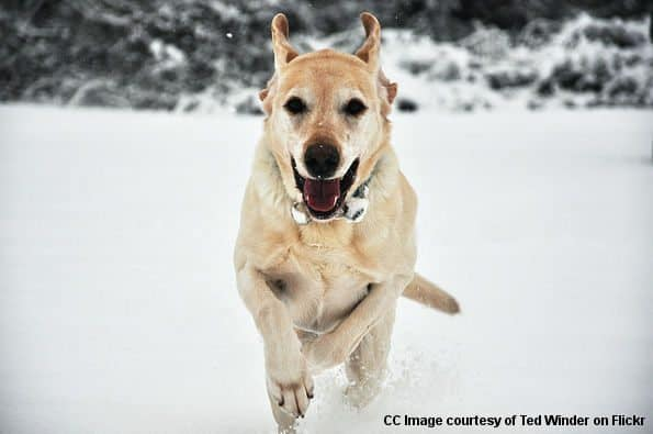 How much exercise does a Labrador need: Yellow lab running toward camera in snow