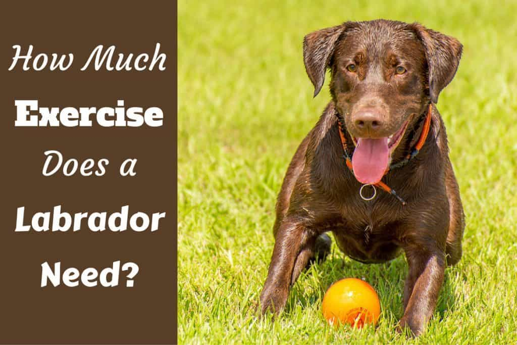 How Much Exercise Does A Lab Need Weight Running Swimming More