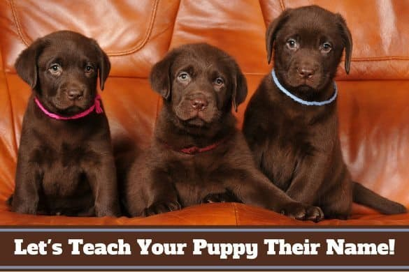How to teach a puppy its name: 3 chocolate labs on a sofa