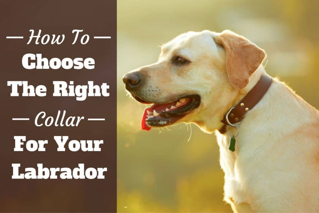 Dog Collars for Labs: Your Complete Guide on Lab Collar ...