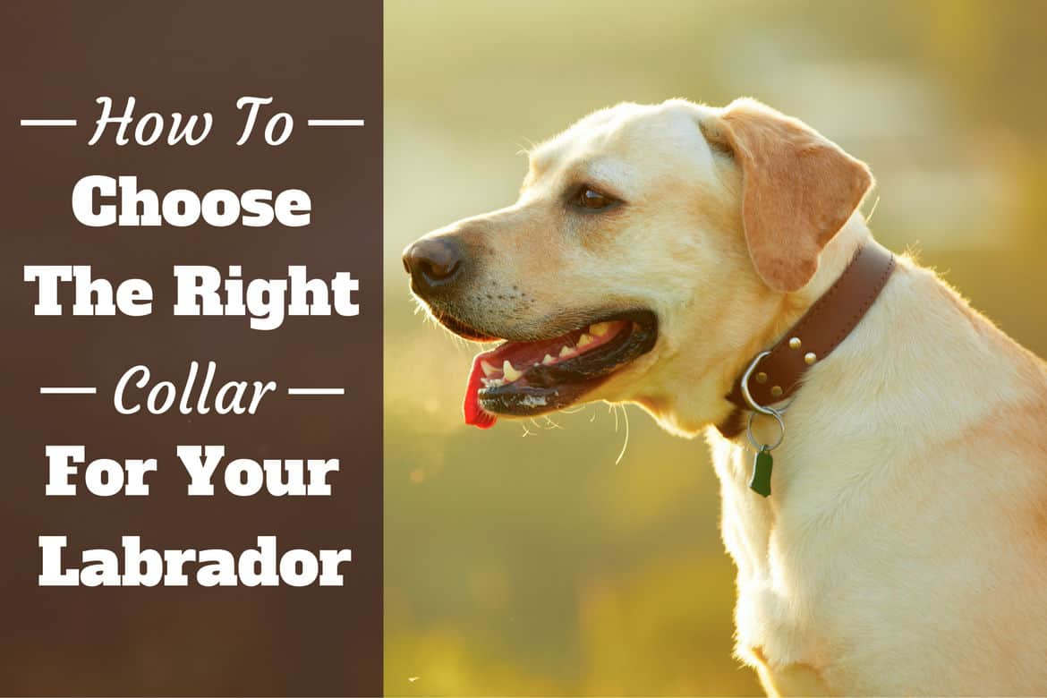How to choose a collar for a Labrador - A yellow lab with a nice leather collar