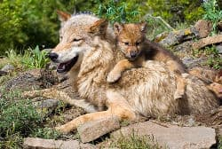Mother and cub wolf relaxing in their den