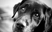 How to crate train an older dog - a portrait photo of a wise grey muzzled labrador