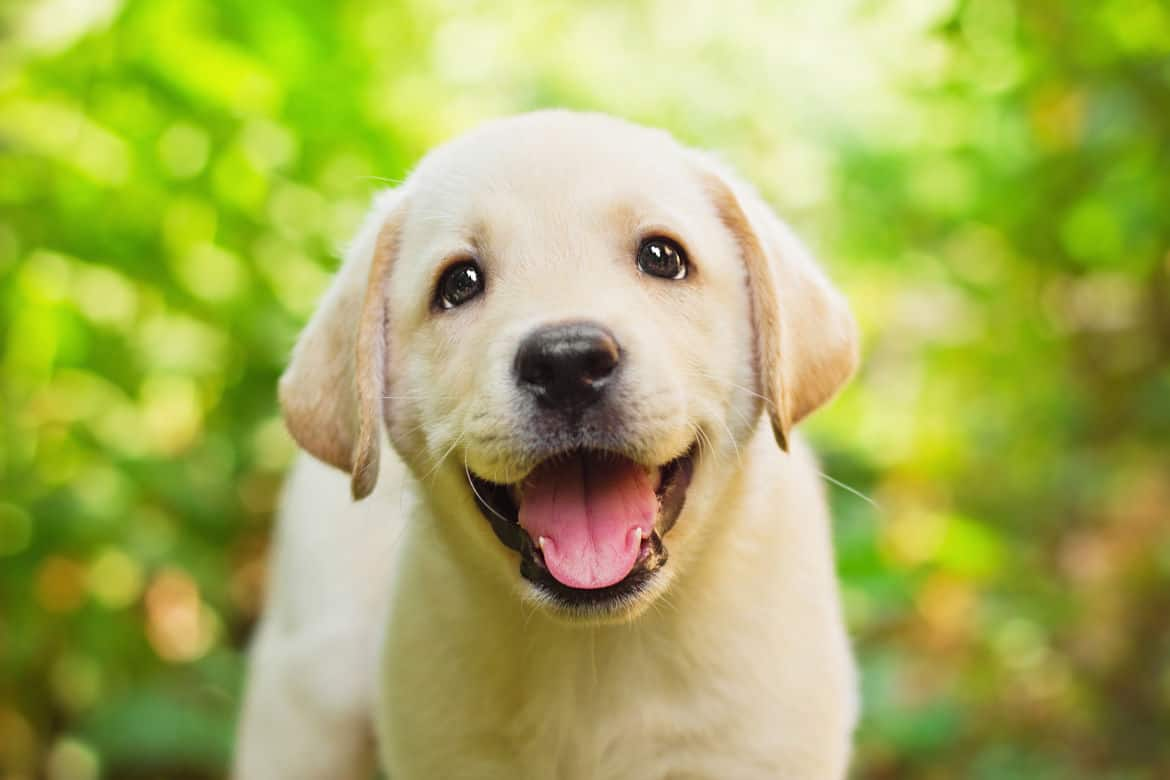A smiley yellow labrador puppy face