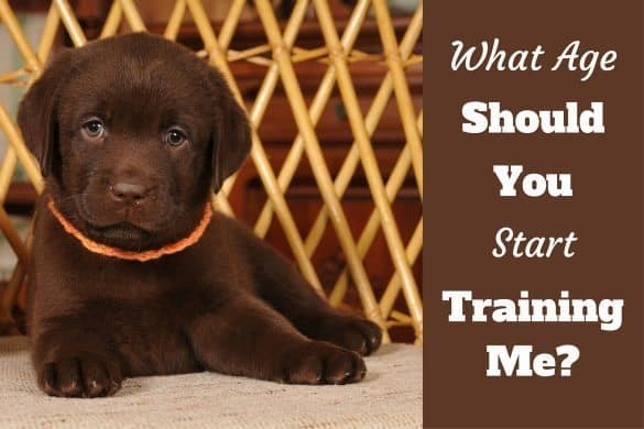 when to start training a puppy - a lab puppy looking into camera