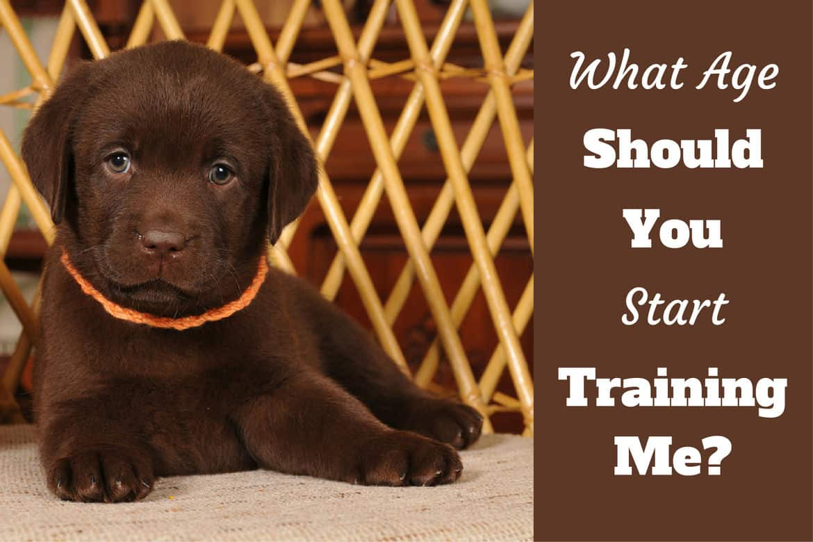 When to Start Training a Lab Puppy? [Guide on the Best Age to Train a Dog]