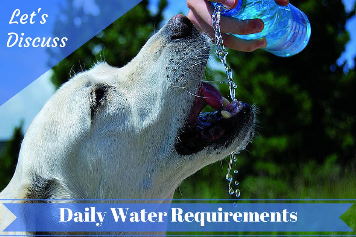 How much water should a Labrador drink each day