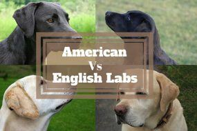 Difference between American and English Labradors