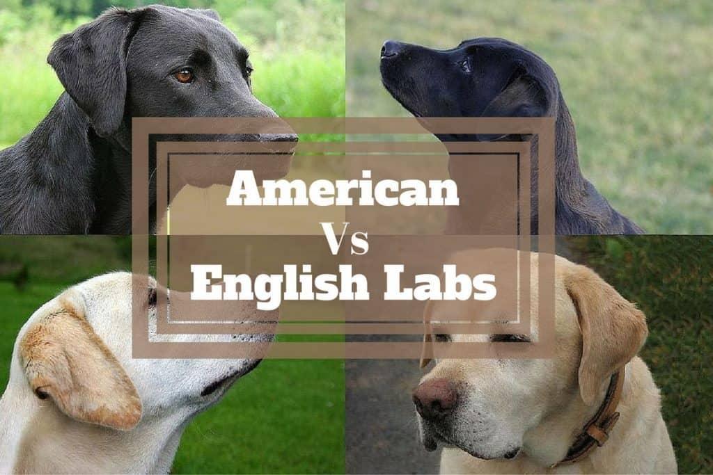 English labrador retriever vs american labrador retriever