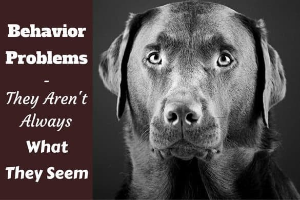 Labrador Behavior Problems - striking black and white image of a Labrador