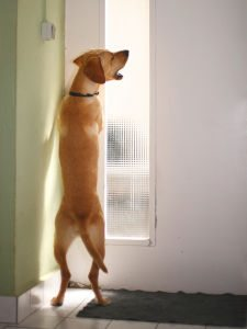 A labrador barking at a door