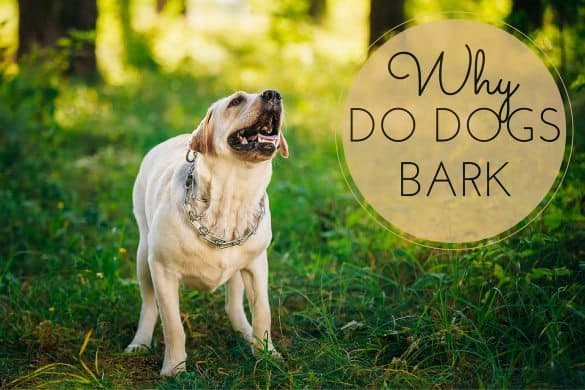 Why do dogs bark? A Yellow Labrador barking in the snow