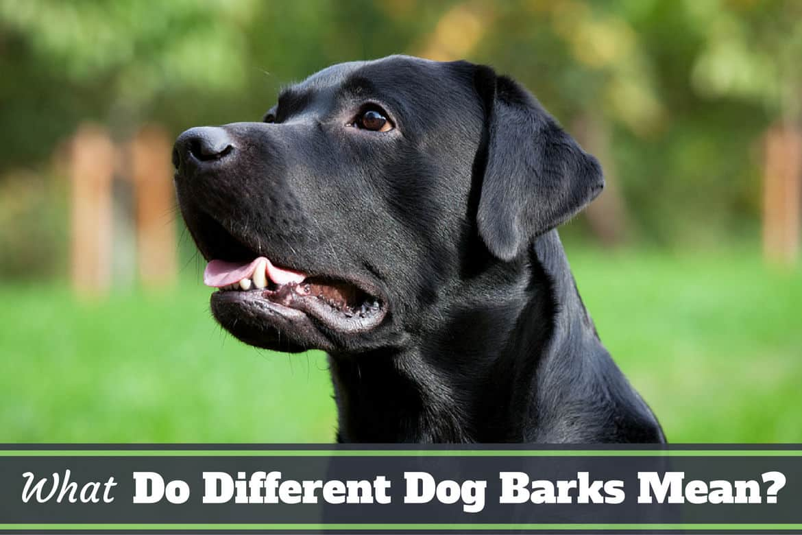 What Do Different Dog Barks Mean? What is Your Lab Saying?