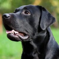 A black lab barking