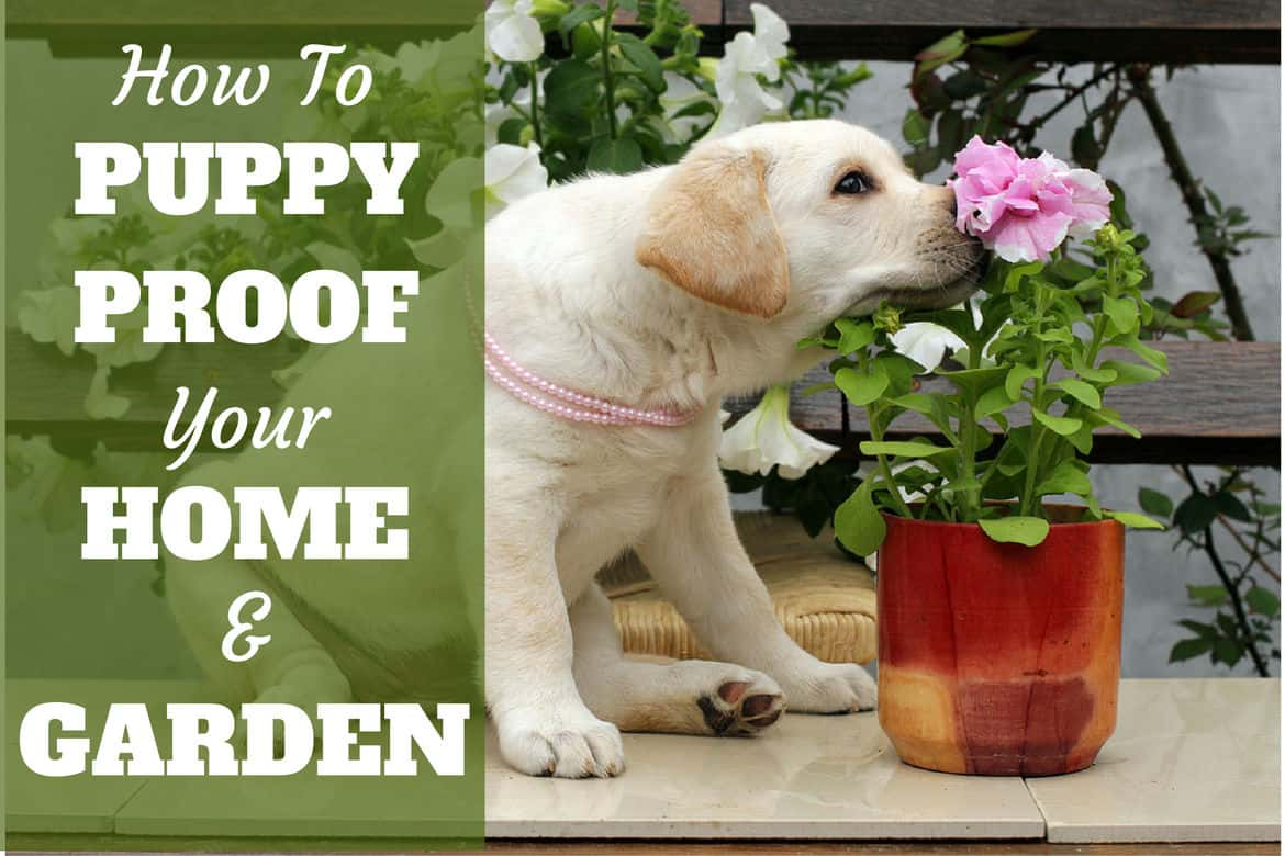 How to puppy proof your home and garden written next to a Yellow lab puppy sniffing a flower