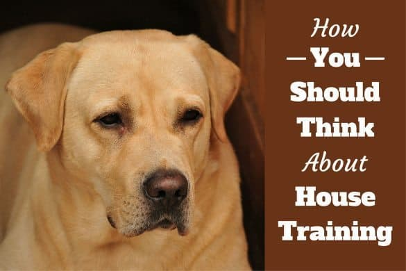 House training - A concentrated looking yellow lab portrait