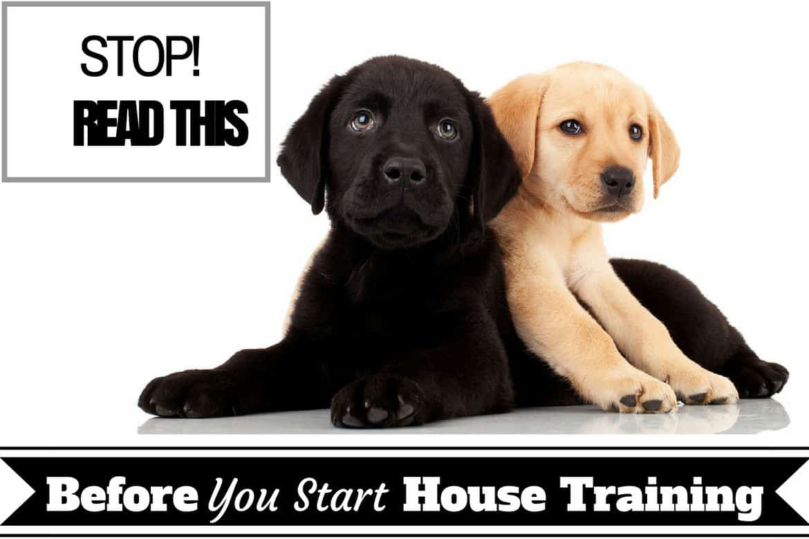 House training basics - Two lab puppys on white background