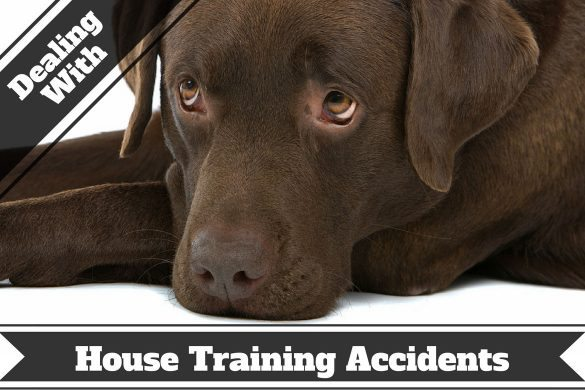 How to remove pet stains and odors - A sad looking chocolate Lab