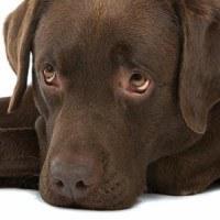 A sad looking chocolate labrador