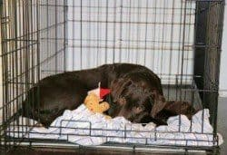 A labrador in a crate used for house training